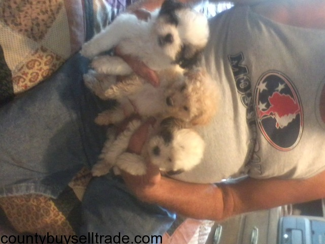 Toy Maltese/Poodle mix puppies in Bell, Texas - Bell County